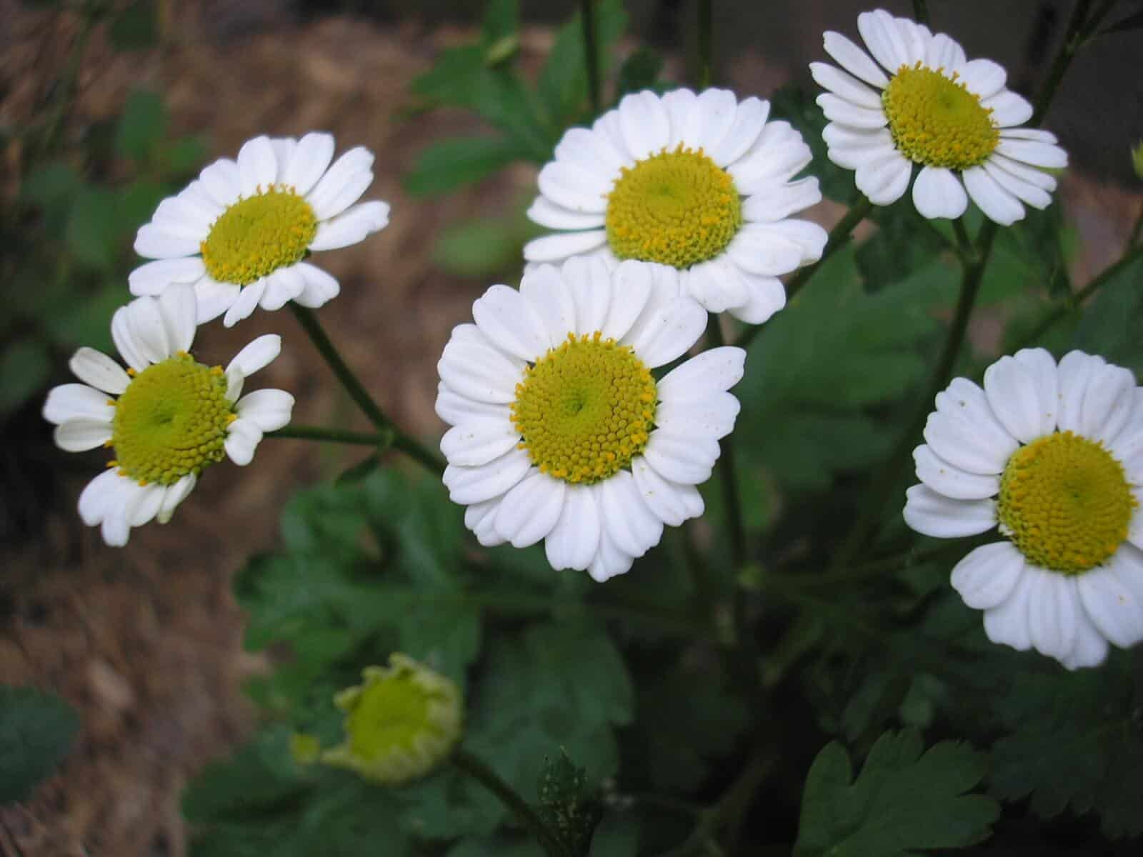 5 herbs in nerve renew youve probably never heard of the flowers it produces actually look like typical daisy flowers with white petals and a yellow center the herb has a long history of izmirmasajfo